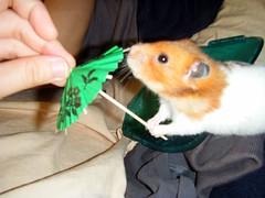 20080614-34 (kayako_) Tags: hamster pon