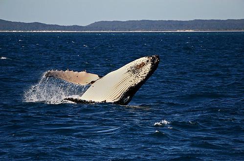 Humpback Whale, Hervey Bay, Queensland, Australia IMG_5751_Humpback_Whale