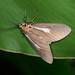 080705 新店 四崁水 圓端擬燈蛾 Asota heliconia zebrina (Butler, 1877)