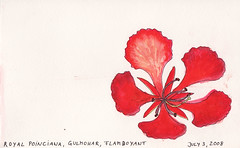 Gulmohar Flower (blackvampire) Tags: flower illustration watercolor sketch journal petal flamboyant gulmohar royalpoinciana