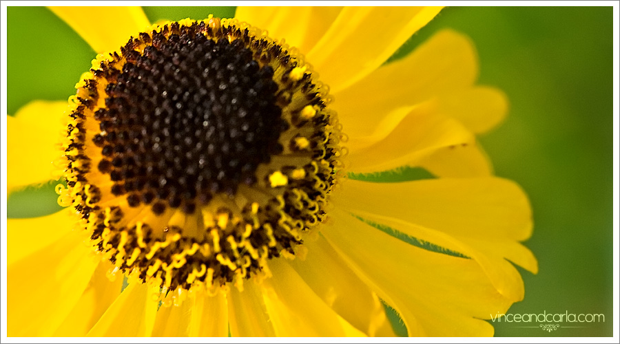 yosemite macro black eye susan eyed flower stamen yellow close up
