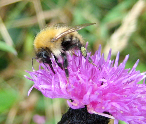 Bee on knapweed in Kelburn