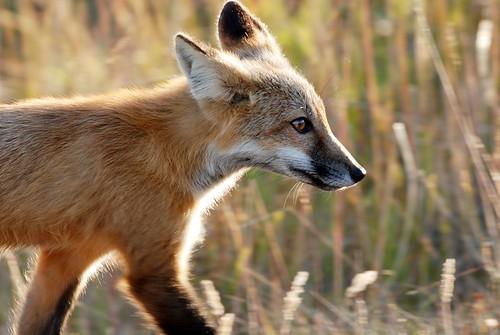 [フリー画像] 動物, 哺乳類, イヌ科, 狐・キツネ, 201010111100