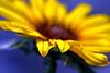 keep your face to the sunshine.... (janoid) Tags: hope bravo faith sunflower xoxo excellence yourock thefirstoftheseason joshturner trueessence janslightstyle janalicious janoidmagic tttttttttttttttttttttttttt manquelitosendsyouxoxoxoxo iseeanotherheart inevermissone