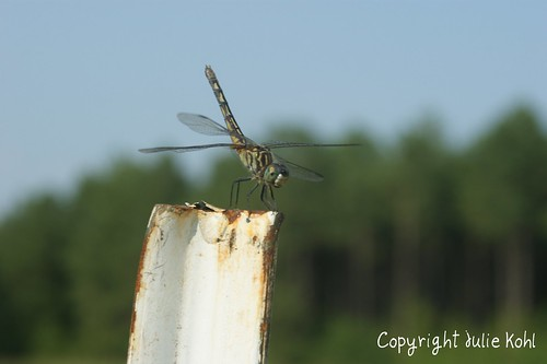 Dragonfly resting on a fence post.