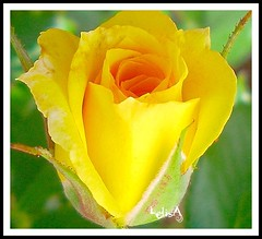 Tea Rose Bud for Debbie (LelisA) Tags: tearose inthegarden naturesfinest anaheimca mywinners abigfave aplusphoto theunforgettablepictures goldstaraward therubyphotographer yellowrosebud awesomeblossoms