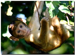 Young Barbary Macaque (PHOTOPHOB) Tags: baby monkey flickr young berber ape monkeys salem apes affe macaque cubism barbary affenberg berberaffen supershot specanimal berberaffe golddragon aplusphoto photophob