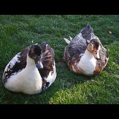 Dos amigos con muchas plumas (glorialsupervia) Tags: ducks aves animales patos parquedelretiro plumas anades