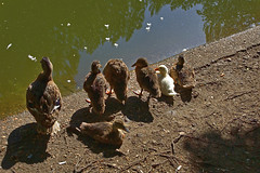 Adopted? :) (Thor Lux) Tags: animal duck nikond50 animalplanet tonemapping fdrtools thewonderfulworldofbirds sigmalens18200mm