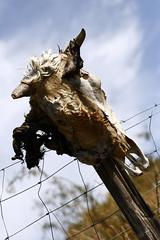 Tte de Maure ? (Hotel Lyric [off]) Tags: skull corse corsica crne clture cornes deadcow pelage minotaure 400d miseengarde sinonilyenavaitaussidesplusvivantessurlaroute lavachequineritplus