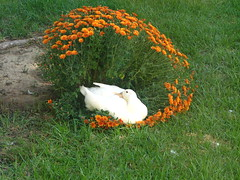 That's not your nest! (Boonlong1) Tags: flowers pet pets bird duck ducks campbell avian birdandflowers