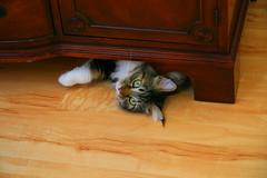 Grendel under the Bureau (Palmer Digital Studio) Tags: china portrait pet cat canon eos is kitten feline play bureau furniture kitty games hidden usm hutch hiding 1785mm efs grendel 30d f456 canoneos30d canonefs1785mmf456isusm