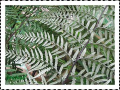Lower leaf surfaces of Pityrogramma calomelanos (Dixie Silverback Fern) covered with silvery white powder