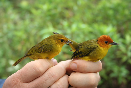 Rust-and-yellow Tanager - Thlypopsis ruficeps by Fabrice Schmitt.