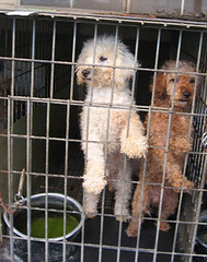 Indiana puppy mill dogs