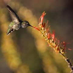 Desert Hummingbird (Russ Beinder) Tags: topf25 topv111 topv555 topv333 hummingbird desert searchthebest topc50 sedona az cathedralrock blueribbonwinner bokehlicious goldenbokeh rubyphotographer 2008101200061