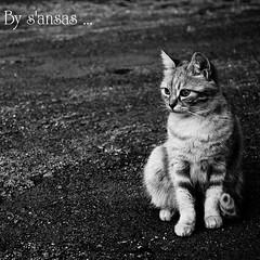 chat4 (s'ansas) Tags: portrait blackandwhite cars nature look chats nikon noiretblanc oeil yeux regard flins bestofcats sansas