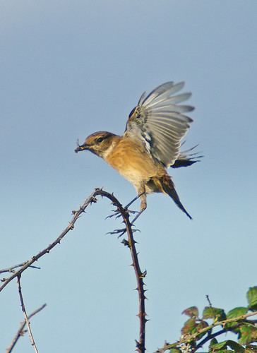 Stonechat with Brindled Hoverfly, Exminster UK
