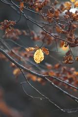 Le ultime foglie (Claudio®) Tags: foglie autunno naturelovers boscodelcansiglio chicècè incontrianordest