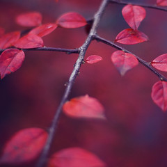 Even small leaves have to fall (koinis) Tags: red leave canon john 50mm bokeh small explore getty 18 sqr koinberg koinis