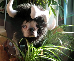 Spotted in her habitat. (WelcomeToTheDoghouse) Tags: plants dog halloween up boston costume head horns terrier jungle una bone bison dressed