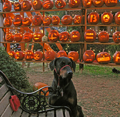 Patiently waiting (Doxieone) Tags: orange fall halloween wall pumpkin carved elizabeth charlotte president pumpkins northcarolina carolina 2008 democrats pumpkinwallset2008 halloweenfall2008set