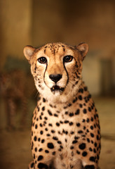 Cheetah Portrait (MAMN84) Tags: wild portrait nature animal speed dof desert cheetah 1ds eos1 markiii mywinners abigfave theunforgettablepictures mamn84