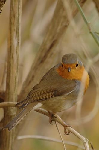 Erithacus rubecula - Roodborstje, European robin