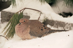 Mourning Dove (rob_valine) Tags: nature birds birdwatcher photoshopelements20 kodakportra400nc mirrorlens contaxaria zeiss500mmf8mirotarlens tiffenhaze1filter eliteimages goldstaraward unlimitedphotos