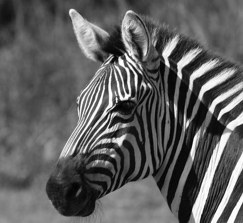 Zebras en Mexico