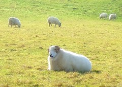 Baa-ram-ewe (lisaluvz) Tags: field grass animals wales sheep farm horns curly pastoral ram ceredigion grazing lisaluvz