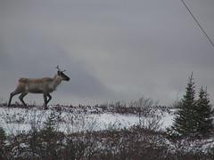 Caribou / Caribou (peupleloup) Tags: winter canada reindeer james bay hiver qubec caribou renne baie rangifertarandus baiejames rangifer tarandus caribous