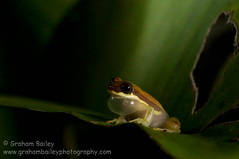 red-striped treefrog (Graham_Bailey) Tags: vaml ccmac ccaml
