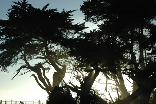 Trees Grove Figures in Ocean Mist, Santa Cruz, California, USA by Wonderlane