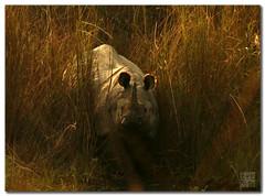 Rhino from Nepal