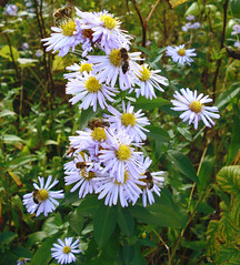 Happy Monday ! (Ashley1954) Tags: autumn fab bee explore wildflowers asteraceae aster asternovaeangliae beautysecret topshots platinumphoto photosandcalendar excellentsflowers natureselegantshots explorewinnersoftheworld mimamorflowers amazingmacros panoramafotografico