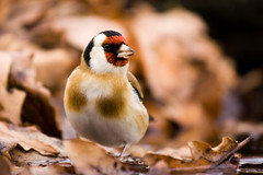 IMG_3741 (tonyi8) Tags: birds is goldfinch f4 70200mm madarak tengelic