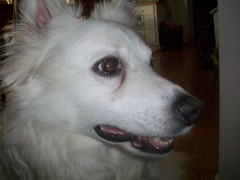 Happy (jumpyfrog0506) Tags: dog white cute male happy fluffy american eskimo