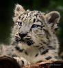 Tashi (NatalieManuel) Tags: wild snow nature animal cat zoo big feline leopard melbournezoo captive bigcats snowleopard