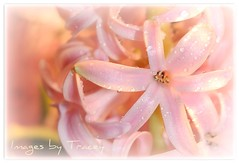 Happiness....... (Tracey Tilson Photography) Tags: pink flower macro wet floral beautiful closeup wonderful 50mm march nc drops emerson spring nikon focus friend friendship bokeh north dream happiness micro tuesday carolina dreamy nikkor 2009 hyacinth d90