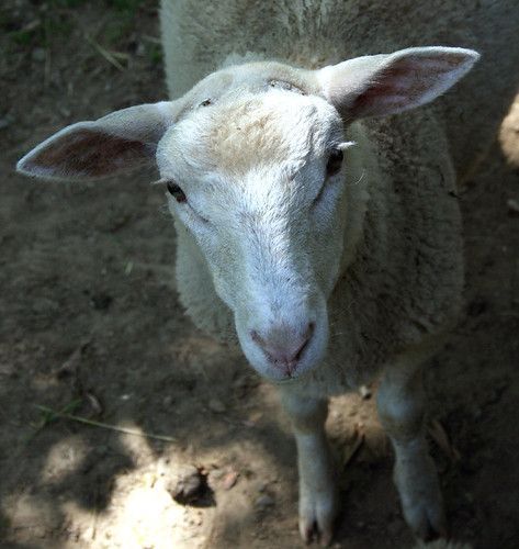 gretchens farm little ram 2