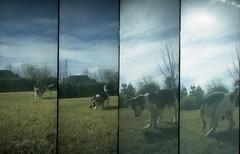 inquieTITO (  S i L   ) Tags: dog beagle puppy lomo lomography supersampler perro mendoza tito titooooo