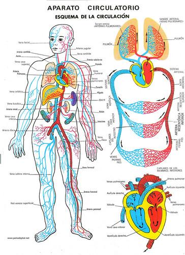 Aparato circulatorio-1