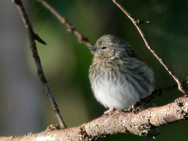 Fledgling finch20110618