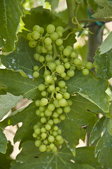 Uva (Daria__) Tags: june vineyard vine grapes giugno uva grape daria grapevine deria 2011 sigma1770mm canoneos1000d deriah