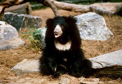 asiatic-sloth-bear.jpg