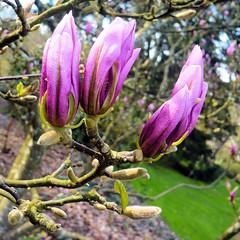 Parc de Maulévrier - Magnolia rose