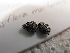 Passiflora maliformis Seeds (joeysplanting) Tags: seeds passiflora passifloraceae passifloramaliformis
