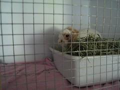 IMG_0493 (joandirk) Tags: rabbit cadbury lop minilop