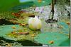 Pond Life (Shabbir Ferdous) Tags: flower green nature water pond photographer lotus soe bangladesh bangladeshi barisal abigfave shieldofexcellence canoneosrebelxti anawesomeshot overtheexcellence shabbirferdous sigmazoomtelephoto70300mmf456apodgmacro wwwshabbirferdouscom shabbirferdouscom